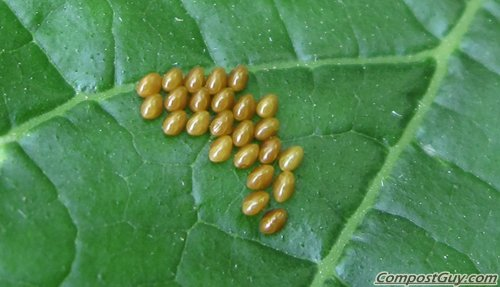 Squash Bug Eggs