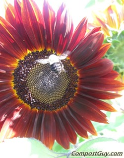 Sunflower &#038; Bumble Bee