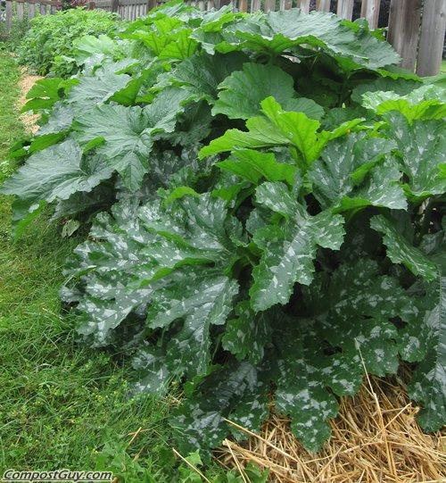 Healthy Zucchini Plants